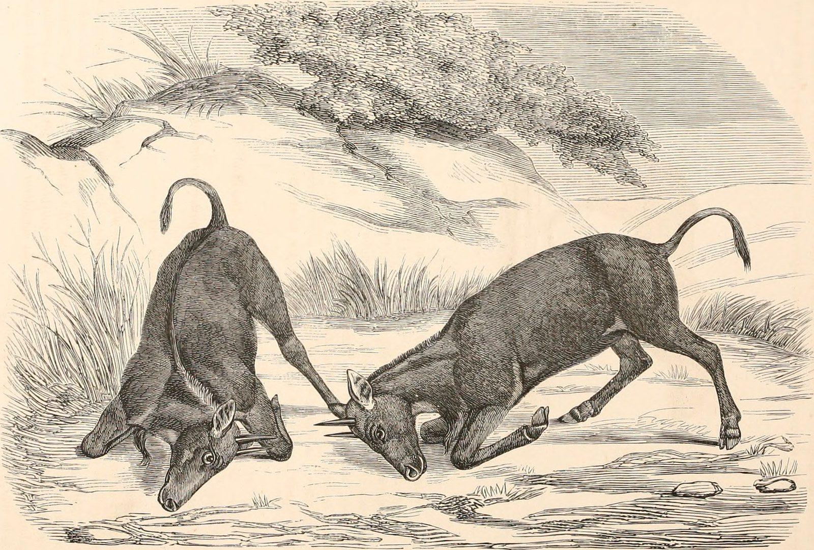 combat d'animaux à cornes, gravure
